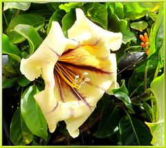 Goldkelch (Solandra maxima). ©UdoSm