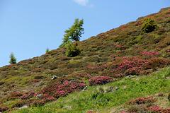 Alpenrosen (Pic-in-Pic)