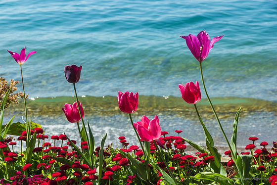 TULIPS DANCING -MONTREUX - SUITZERLAND