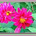 Dahlias Blooming.