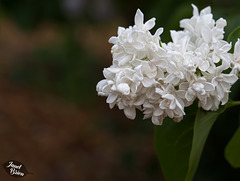 365/366: White Lilac Drizzled with Droplets