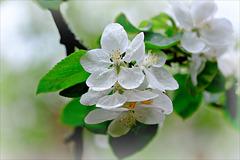 Blüten - Weiss und Aprilfrisch