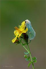 Burren Green ~ Groene weide-uil (Calamia tridens)...