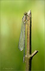 Tiny Damselfly: Azure Bluet, Azure damselfly ~ Azuurwaterjuffer (Coenagrion puella), fresh male ♂...