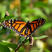 A straggler: This Monarch butterfly...