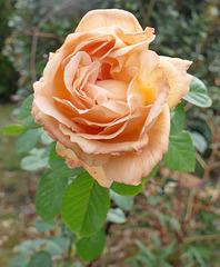 La rose de tous les courages ...