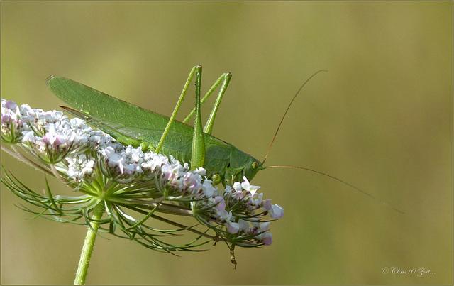 Great Green Bush-Cricket ~ Grote groene sabelsprinkhaan (Tettigonia viridissima), female ♀...