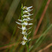 Spiranthes longilabris (Long-lipped Ladies'-tresses orchid)