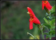 Mimulus cardinalis- Erythranthe cardinalis