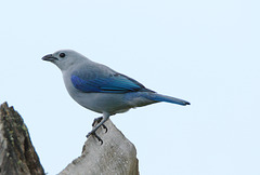 Blue-gray tanager EF7A5058