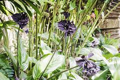 Rare black orchid