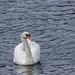 A swan at Llanwryst.1jpg