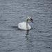 A swan at Llanwryst