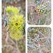 Eucalyptus species