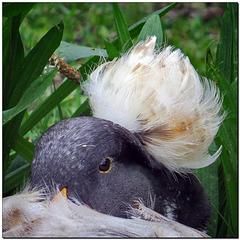 Haube mit Ente | Erpel
