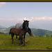 Noriker Pferde Morenkopf