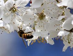 Ein immer seltener werdendes Insekt (Biene)
