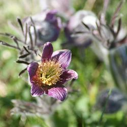 Easter Flower (Pulsatilla vulgaris) M05-01