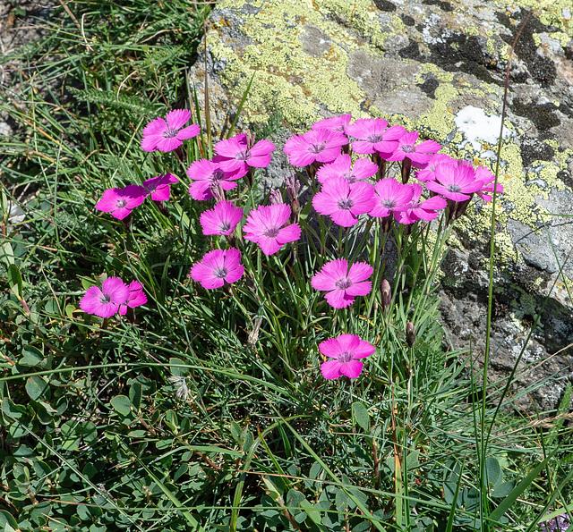 Dianthus pavonius - Pfauen-Nelke, Oeillet oeil de paon, Garofano pavonio