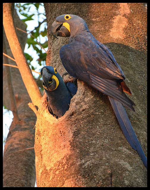 Arara Azul/ Hyacinth Macaws
