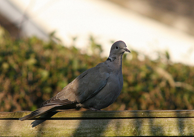 Collared Dove (Steptopelia decaocto) Staxyon North Yorkshire 18th March 2009