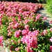 Street Roses 3