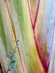 Arbre du voyageur, emblème de Madagascar (Ravelana madagascariensis, Strelitziaceae)