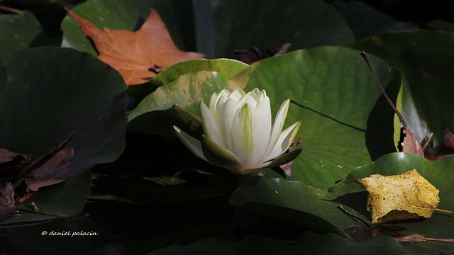 Nénuphar - Lumière sur l'étang