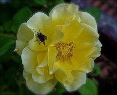 La mouche et la rose.
