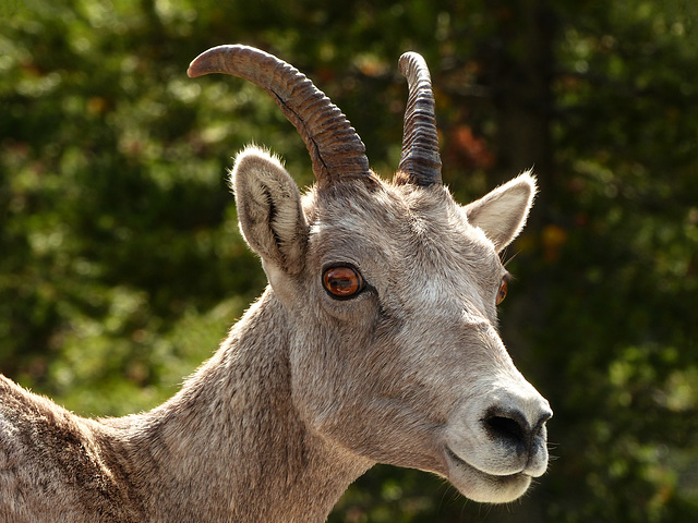 Bighorn Sheep - she's a beauty