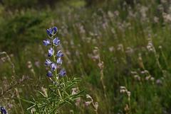 Lupinus angustifolius, tremoceiro azul, tremoceiro bravo