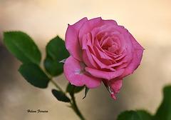 Mini pink rose.