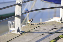 HFF from a Turnstone at Titchfield Harbour, nr Lee on Solent