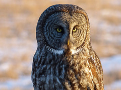 Great Gray Owl in early morning sunlight