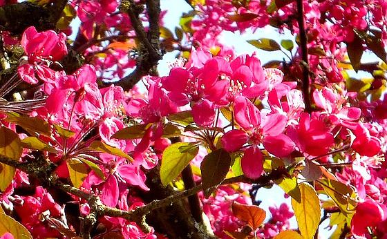 un bel arbre rose...