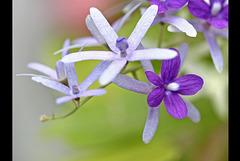 'Purple Wreath' Flower
