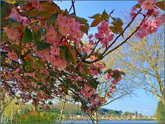 Le temps des cerisiers (d'ornement)