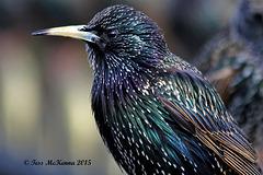 Starling Profile Explore 072