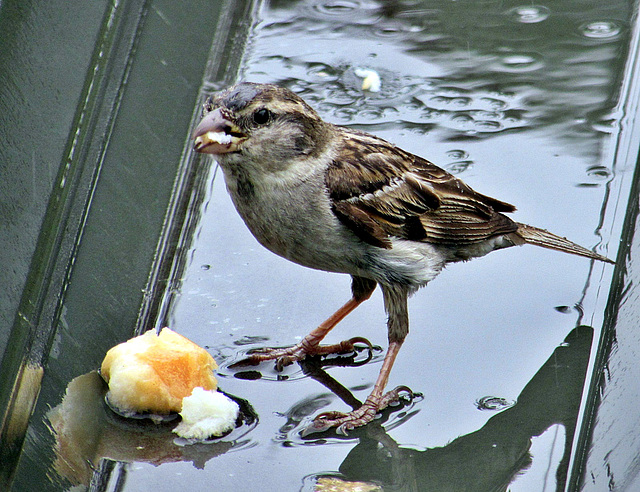 Wet Sparrow.