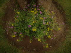 The lantana plants brighten any dreary site