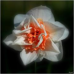 Le Narcisse à frou-frou ...
