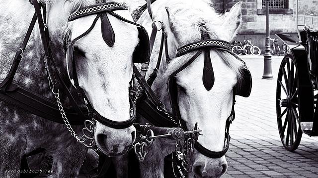 two patient horses