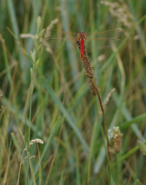 libellule rouge sang