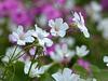 white & pink Oxalis