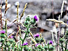 Thistles and grasses,