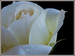 ma rose macro