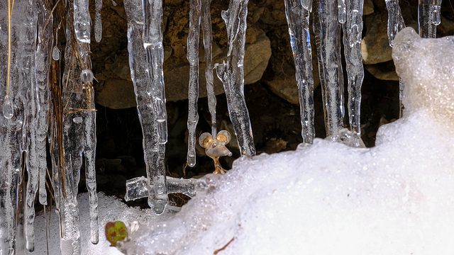 étude : la neige, isolant thermique ?