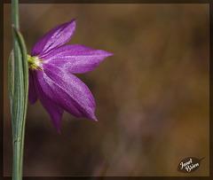 179/366: A Rear View of a Lovely Grass Widow