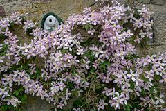 Courtyard Clematis in bloom