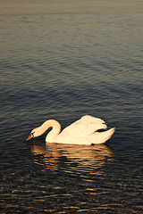 The Swan of Punta Grò